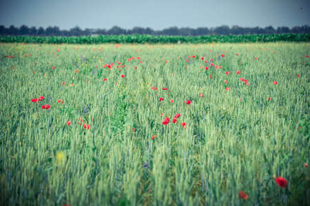 background Field with green shoots of grain and poppy flowers