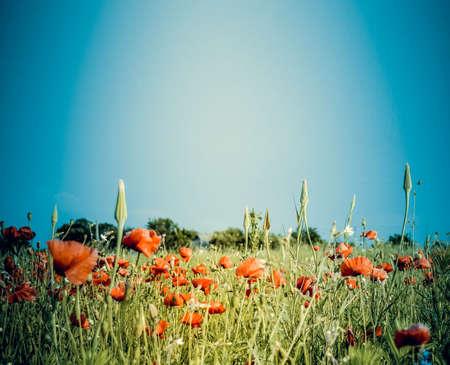 background field with poppy flowers
