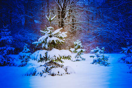 Forest trees covered snow at night in winter.