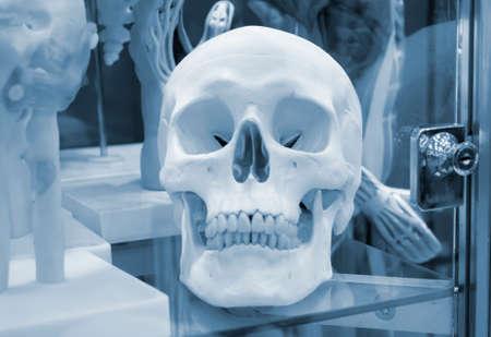 Layout of a human skull closeup, medical exhibit. Blue gray color.