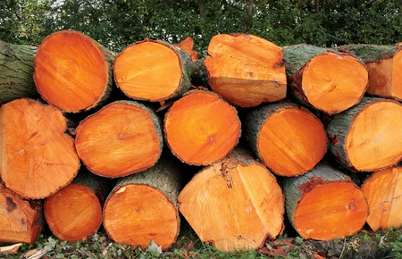sawed: Pile of large tree trunks in a park with bright orange wood.