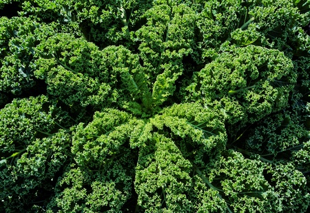 kale: A big healthy curly kale growing in the field, looking down on it towards the center in bright sunlight. Stock Photo