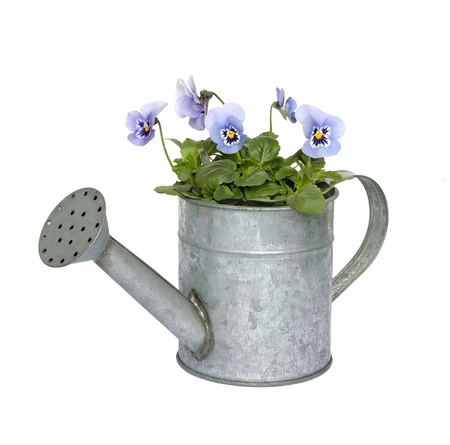 Blue pansies in a zinc watering can isolated on white. photo