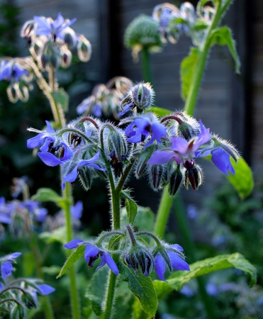 Borage flowers (Borago officinalis) in the garden. photo