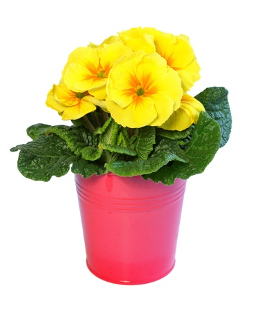 Yellow primrose in a pink metal pot isolated on white. photo