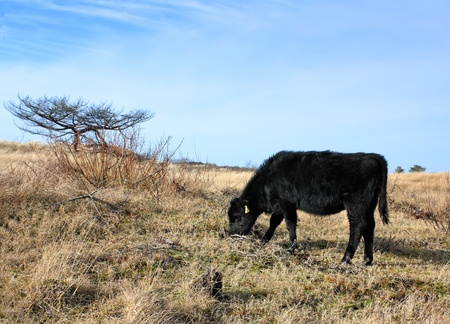 black angus: Young black aberdeen angus cow grazing in the dunes near the Dutch coast. Stock Photo