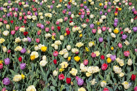Beautiful mix of Dutch tulips and daffodils growing in a field. photo