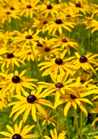 hirta: Lots of black eyed susan flowers Stock Photo
