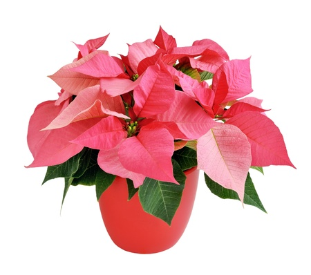 Pink poinsettia in a red pot isolated on white photo