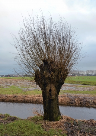 salix alba: Old pollard willow in a typical Dutch agricultural landscape.