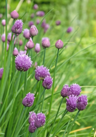 chive: Chive flowers and flower buds in a garden.