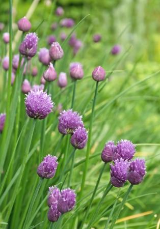 cebollin: Flores de cebollino y capullos de flores en un jardín. Foto de archivo
