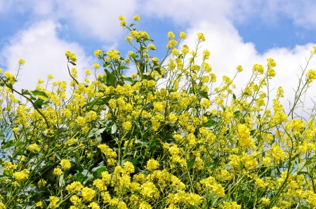 rappi: Rapeseed flowers against a blue sky with white clouds