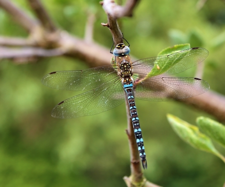 migrant: Migrant Hawker, blue adult male dragonfly, (Aeshna mixta) on a branch.