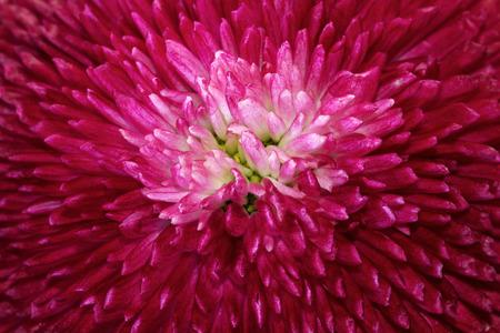 extreme macro: Red daisy macro flower background Stock Photo