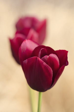 beautiful red tulips close up: Dark red tulips, shallow depth of field.