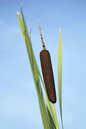 quagmire: The dark brown cigar shaped head of a cattail.