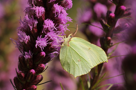 gonepteryx rhamni: Common brimstone butterfly (Gonepteryx rhamni) on a purple flower. Stock Photo