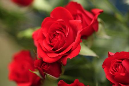 rot: Detail der roten Rosen im Garten.