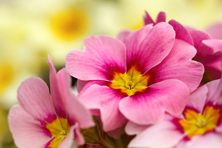 primulas: Pink primroses macro photo, shallow depth of field. Stock Photo