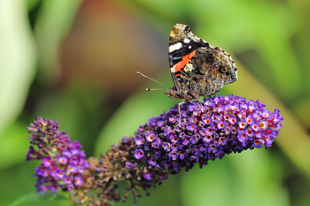 admiral: Red Admiral, Vanessa Atalanta butterfly feeding on Purple Buddleja