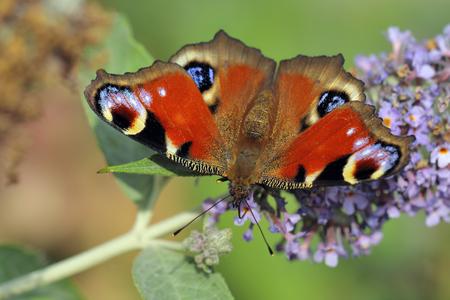 inachis: European Common Peacock butterfly (Aglais io, Inachis io)