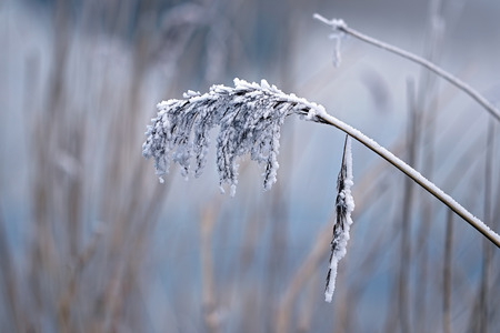 beatiful: Beatiful frozen reed plume Stock Photo