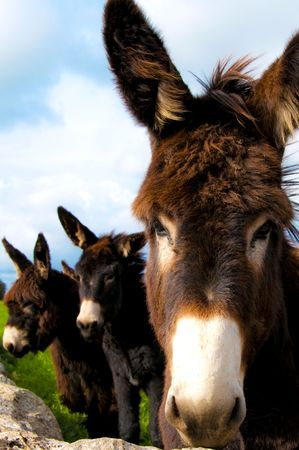 stubbornness: group of donkeys near the wall of stones with grass and sky background