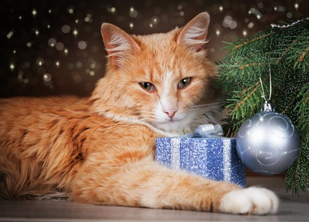 Contented ginger cat lying under Christmas tree holding a gift with his paw