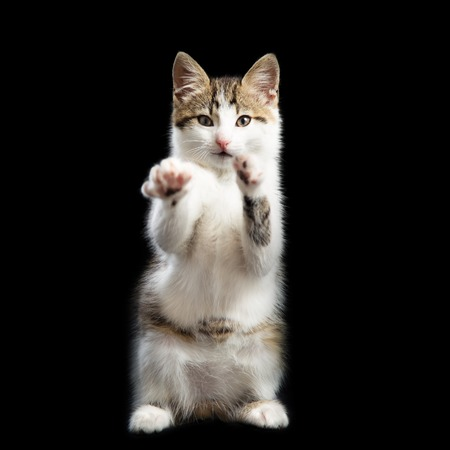 hands lifted up: Trained kitten stands on two paws lifting the second paws up Stock Photo