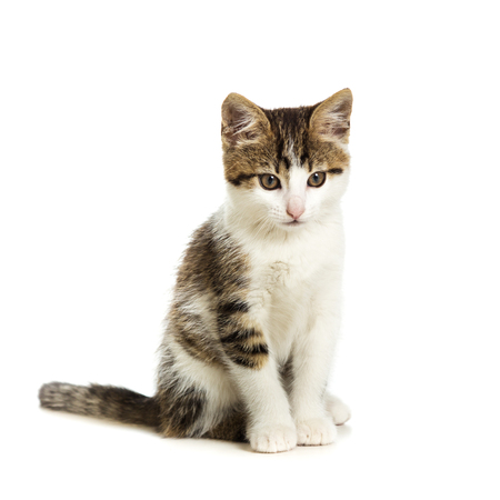 innocent: Cute kitten sitting on a white background