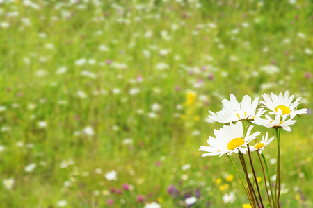 space for text: daisies on a summer meadow background blur with free space for text Stock Photo