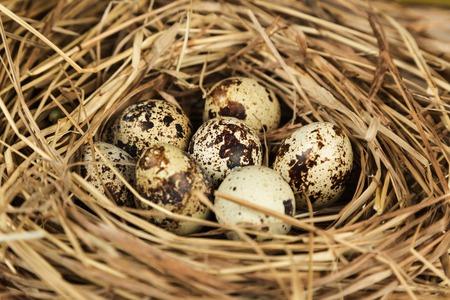 quail nest: Quail eggs in a nest of hay Stock Photo