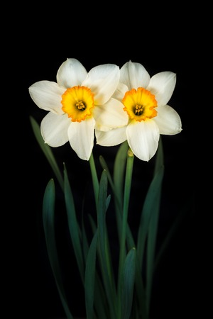 pressed: Two flowers narcissus pressed against each other on a black background. Stock Photo