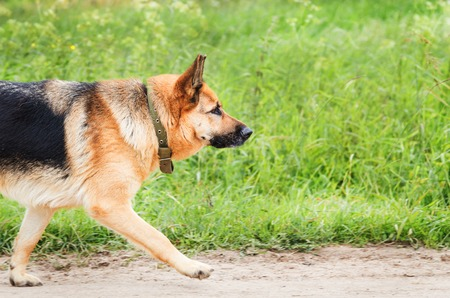 large dog: Large dog runs on the sandy road. Part of the animals body, a free space