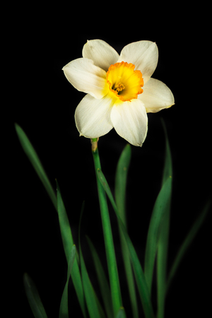 intertwined: Flower narcissus isolated on a black background Stock Photo