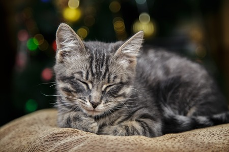 Lovely little striped kitten lies on a festive background with a bokeh