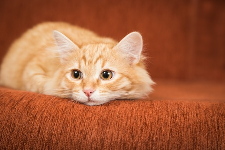 Lovely red kitten on the couch