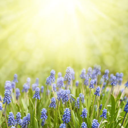 Spring floral background. Flowers of muscari in the sun. 스톡 콘텐츠