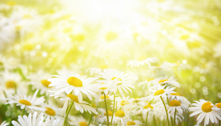 Summer background. Daisies in the meadow are lit by the rays of the sun.