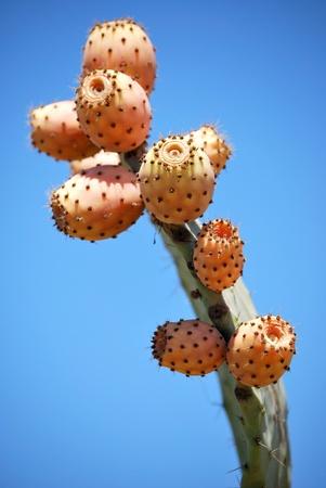 prickly: prickly pear cactus