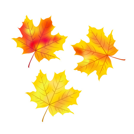maple leaves: Vector set of maple leaves on white background