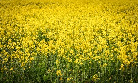 Yellow rapeseed field landscape. Wide panorama Standard-Bild