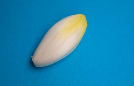 Chicory, endive, succory. Witlof vegetable. Fresh chicory on a blue background.