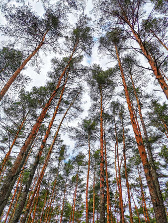 This is a photography of spring forest with tall trees and infinite sky, captured from ground