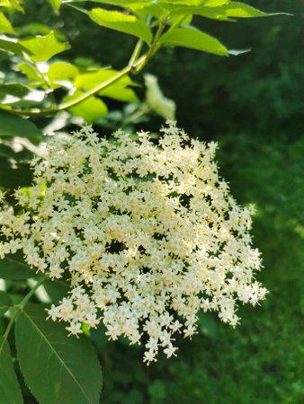 Elderflower (sambucus nigra) clusters in sunny summer day. Elderberry flower and green leaves
