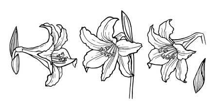Flower set: highly detailed hand drawn of Lily flowers. Element for your idea. Vector illustration for your design.