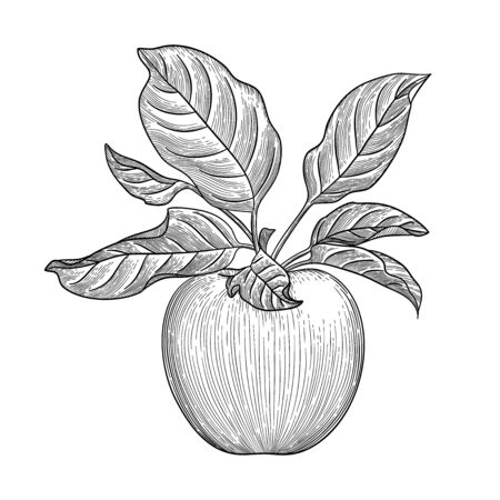 Fresh apple. Hand drawn sketch style eco food vector illustration. Isolated drawing on white background.