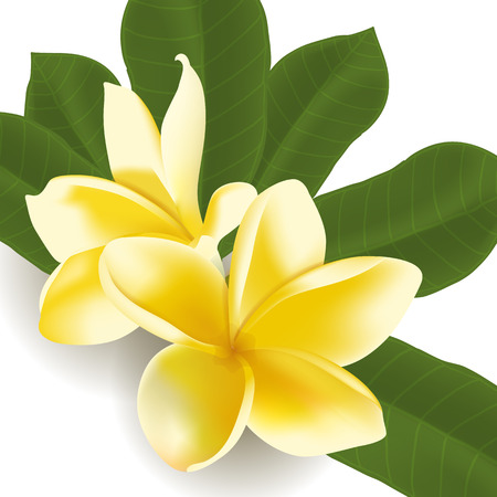 relax garden: Realistic frangipani flower with leaves isolated on white. Vector illustration.