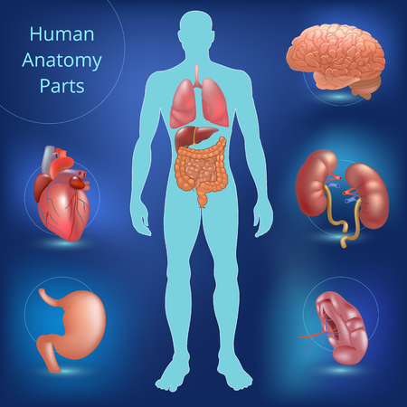 Set Of Human Anatomy Parts Liver Heart Kidney Lung Stomach